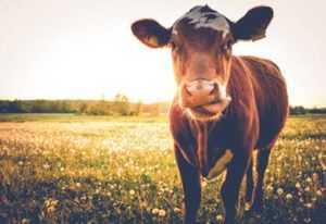 Photo of Cow jokes